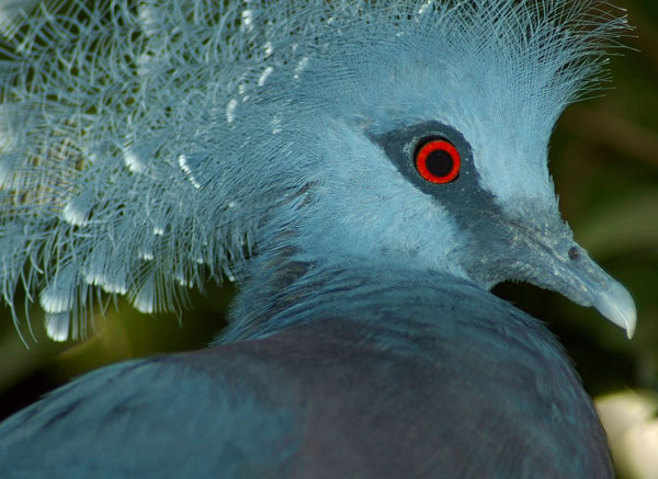 Pigeon's eye = pigeon's blood? Only your ornithologist knows for sure. ©iStockPhoto